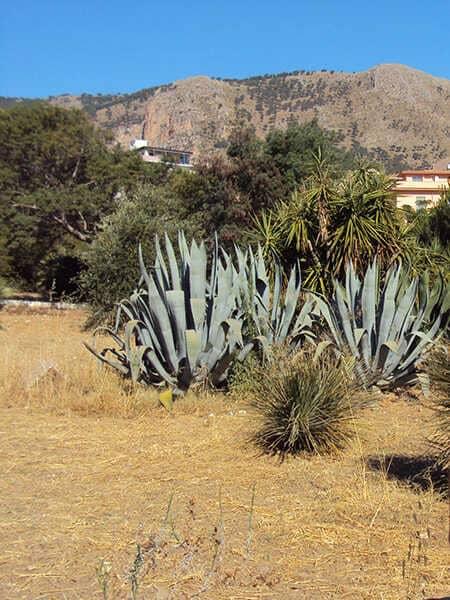 Castellammare-del-golfo-shrub