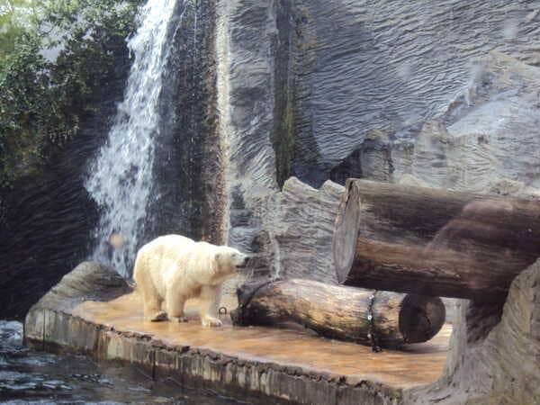Зоопарк в Праге - белый медведь