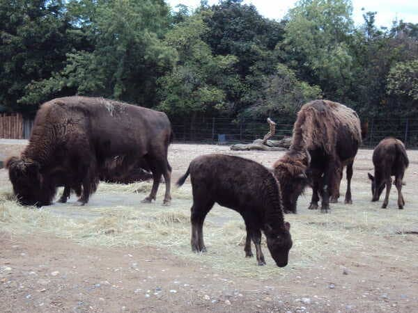 Зоопарк в Праге - бизоны