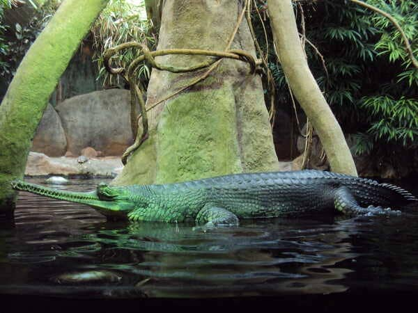 Зоопарк в Праге - гавиал