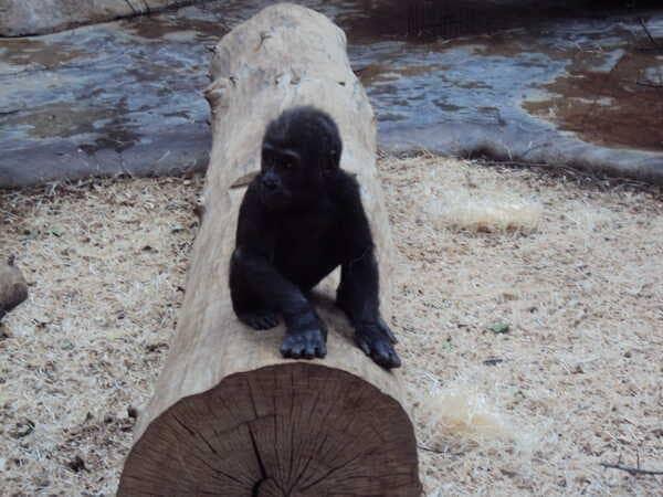 Зоопарк в Праге -горилла детеныш