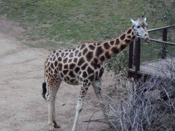 Зоопарк в Праге - жираф