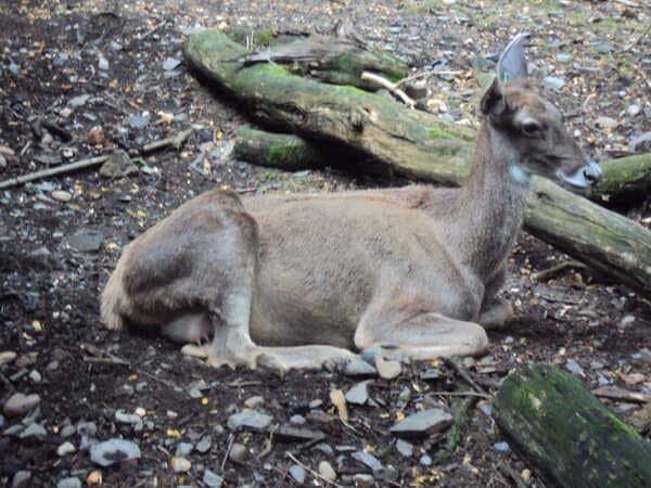 Зоопарк в Праге - косуля
