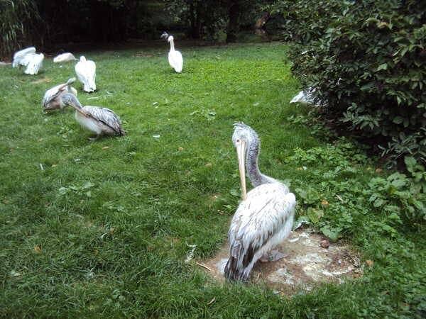 Зоопарк в Праге - пеликаны