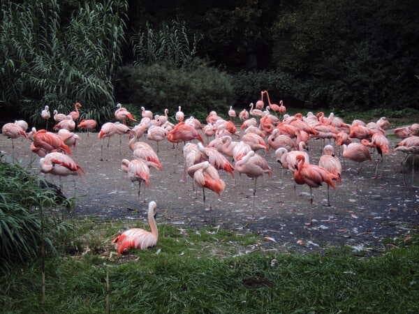 Зоопарк в Праге - розовые фламинго