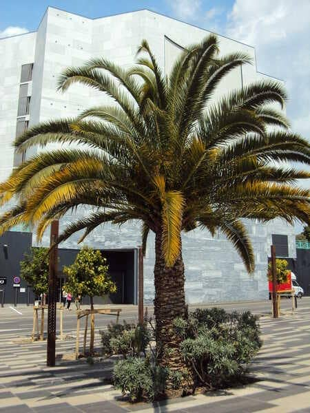 Пальма в Ницце
